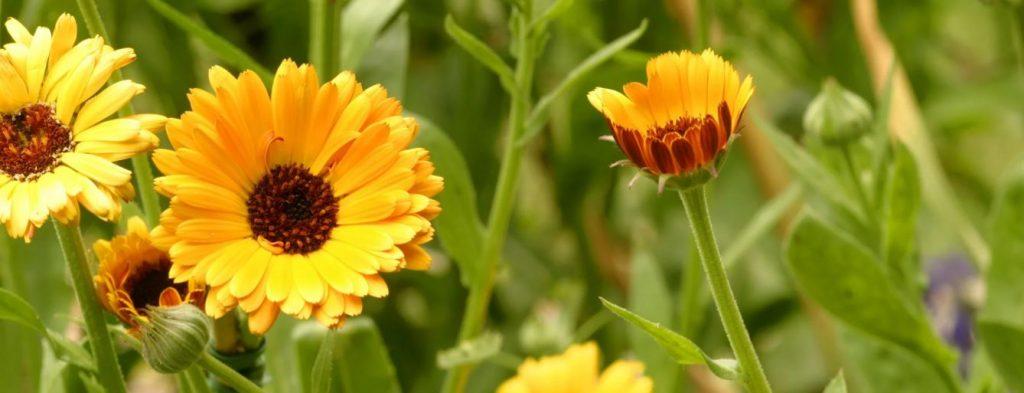 Goudsbloemen Planten