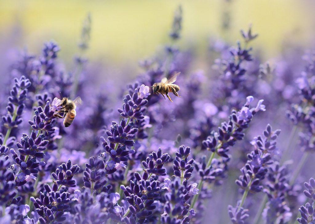 Lavender 1537694 1920