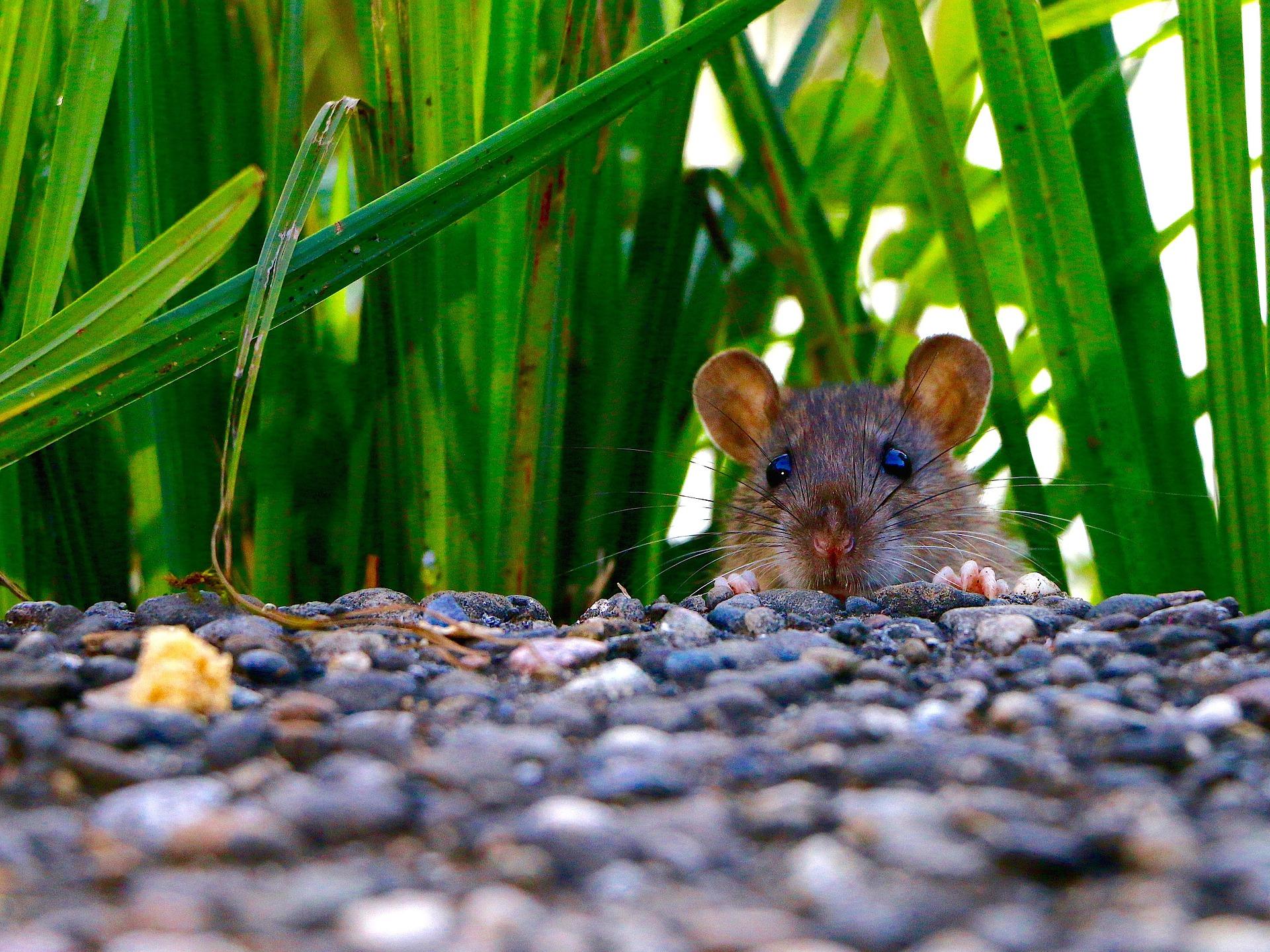 Ratten In De Tuin